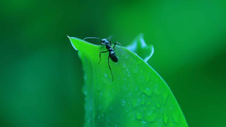 Malayattoor-Forest-Ant
