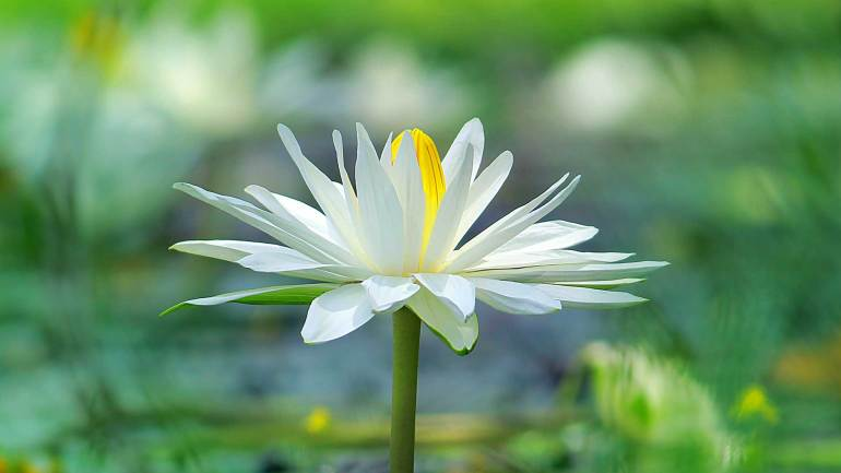 Nymphaea-Alba_Water Lily-Ambal-Poovu-Flowers-of-Kerala