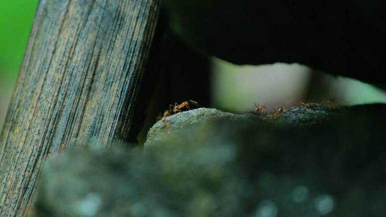 Ants are rush to find a shelter, when it's raining - Paniyeli Poru