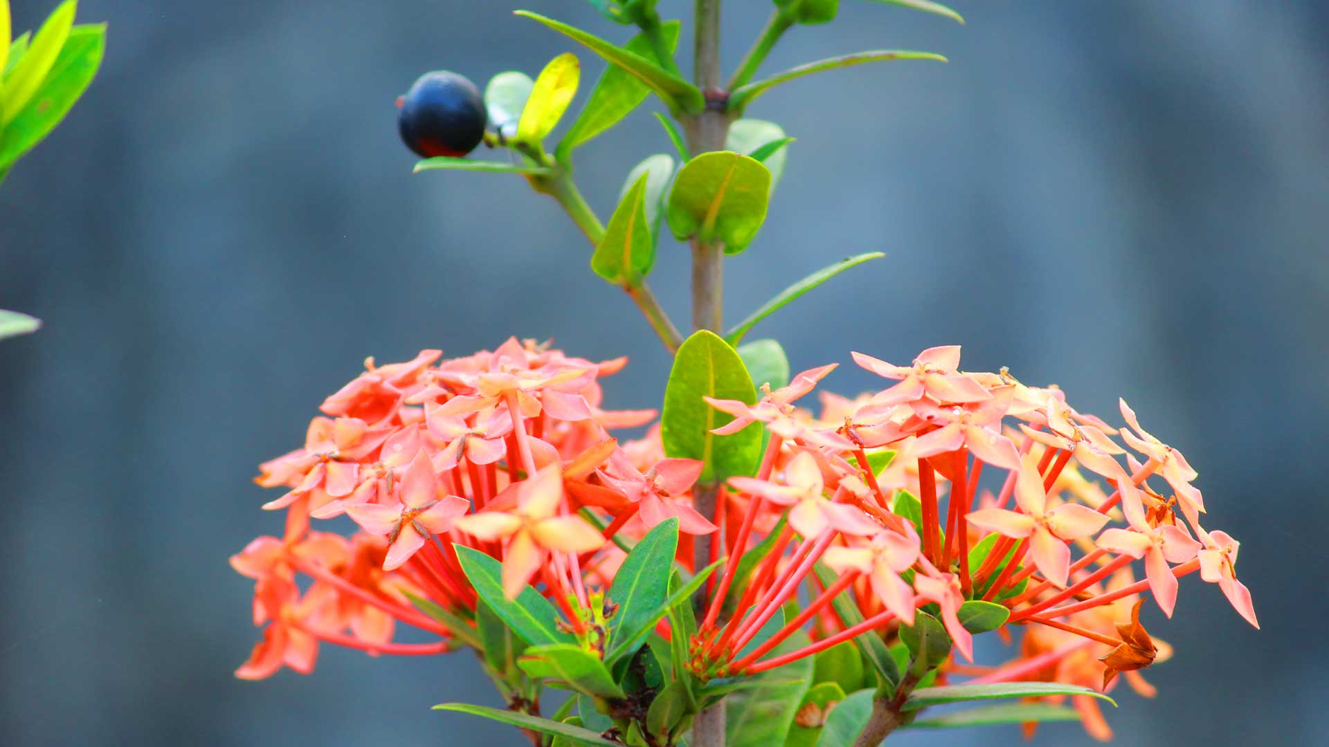 West indian jasmine chethi ixora coccinea health benefits home izmirmasajfo
