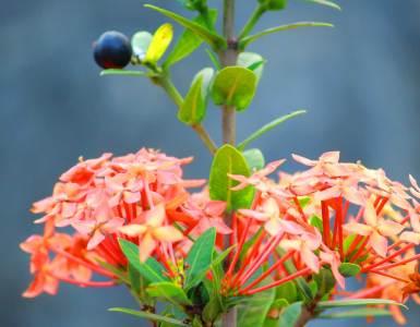 West-Indian-Jasmine-Chethi-Poovu-Chethi-Flower-Kerala, West Indian Jasmine