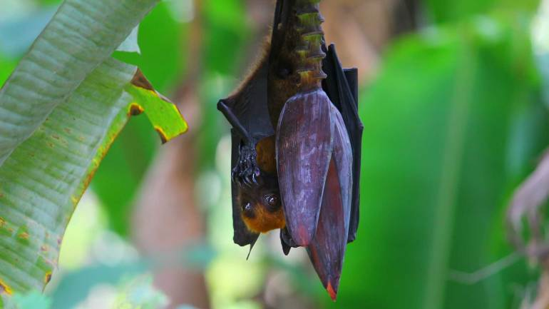 World's Largest Bat, The Indian flying fox, Greater Indian Fruit Bat, Giant Golden-Crowned Flying Fox