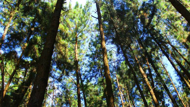 Vagamon-Pine-Forest