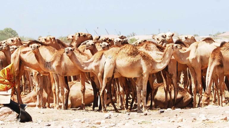 Camel-farm-at-Berbera-Somaliland