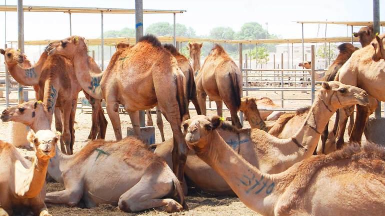 Camels-in-the-livestock-farm-at-Berbera-Somaliland