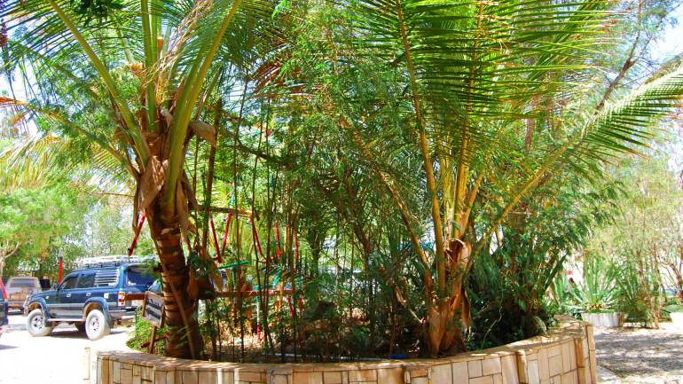 Coconut-tree-grown-in-the-garden-of-a-hotel-in-Burao-Somaliland