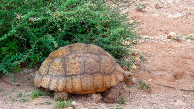 Desert-tortoise,-near-the-countryside-of-the-Berbera-Somaliland