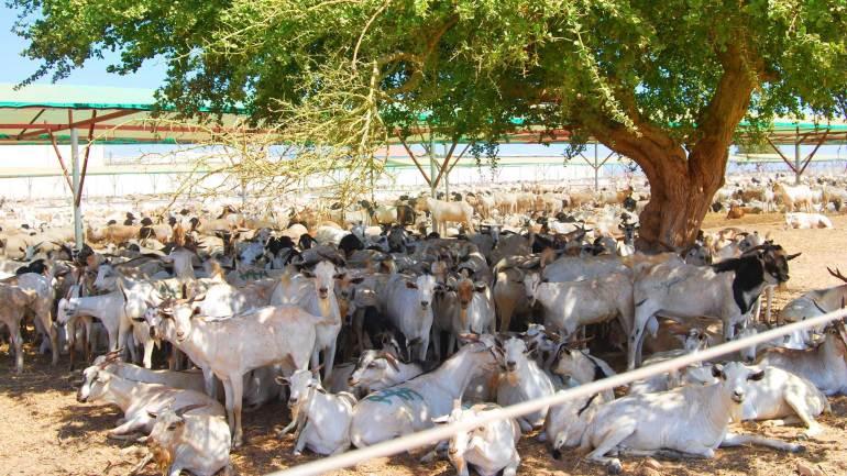 Goats-under-the-shades-of-the-tree-in-a-livestock-farm-at-Berbera-Somaliland