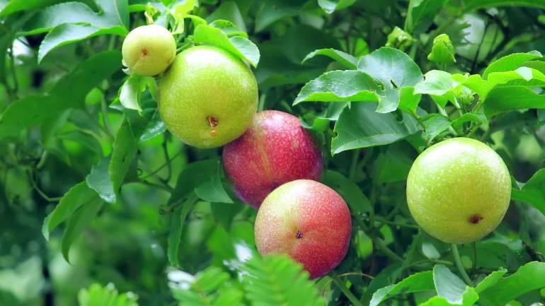 Passion-fruit-Granadilla-Krishna-Phal-2