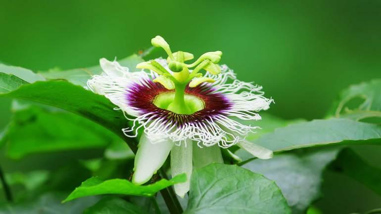 Passion-fruit-Granadilla-Krishna-Phal-Flower