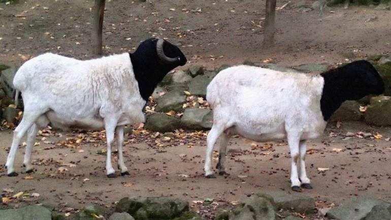The-Somali-sheep-or-the-Berbera-blackhead,-reared-for-meat,-Somaliland