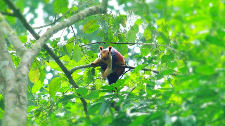 Indian-Giant-Squirrel-or-Malabar-Giant-Squirrel-Bhoothathankettu