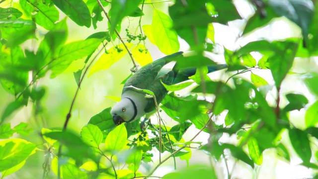 Indian-Ringneck-Parrot-at-Bhoothathankettu-Forest