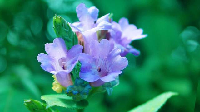 Neelakurinji-Flowers-Strobilanthes-Kunthianus-at-Rajamalai-Eravikulam-National-Park--Munnar