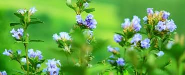 Neelakurinji-Shrub-and-Flowers-at-Eravikulam National Park-Munnar