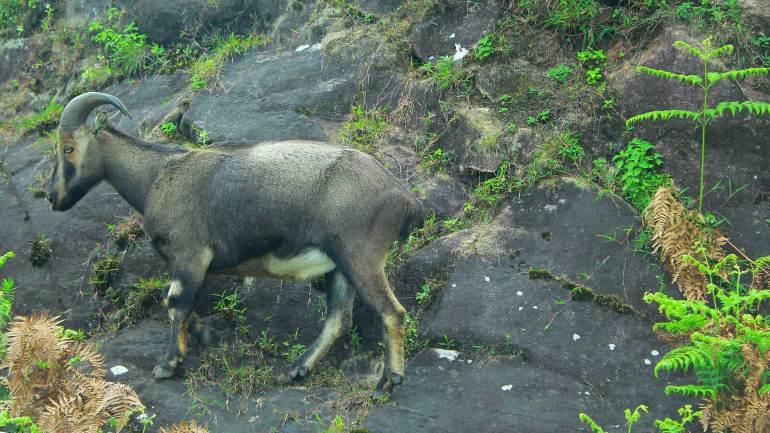 Nilgiri-Tahr-at-Nilgiri-Hills-Rajamalai-Munnar