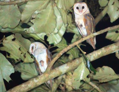 Barn-Owl-Common-Barn-Owl-Thattekkad-Birds-Kerala-Owl