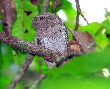 Ceylon Frogmouth Sri Lanka Frogmouth Thattekkad Kerala Birds Thattekkad Bird Sanctuary