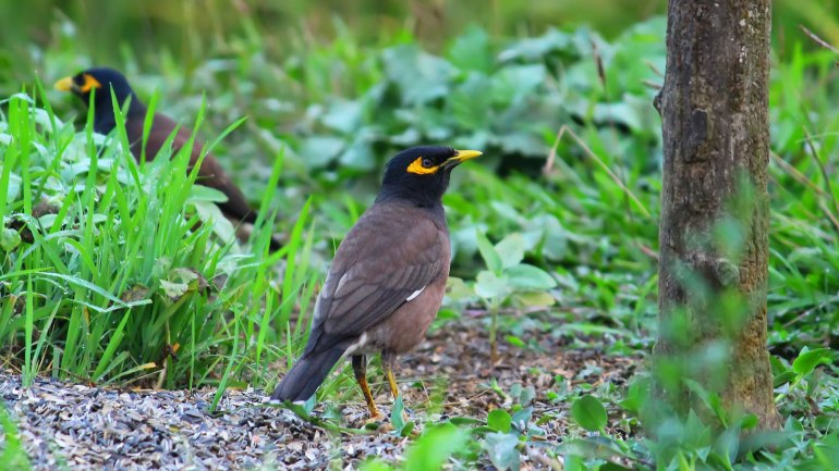 Common Myna, Thattekkad Birds, Birds of South India, Birds of Kerala, Kerala Birds, Birds of Thattekkad, South India Birding, Thattekkadu, Thattekkad Bird Sanctury