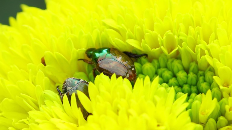 Dogbane-Beetles-Dogbane-Leaf-Beetle-Insects-of-Kerala, Insects of Kerala