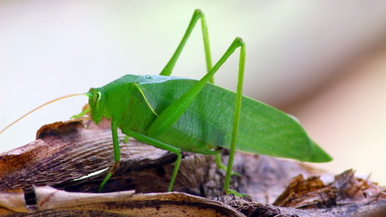 Leaf-Insect-Katydid-Bush-Cricket, Insects of Kerala, Kerala insects, Green Insect, List of Insects, List of Green Insect