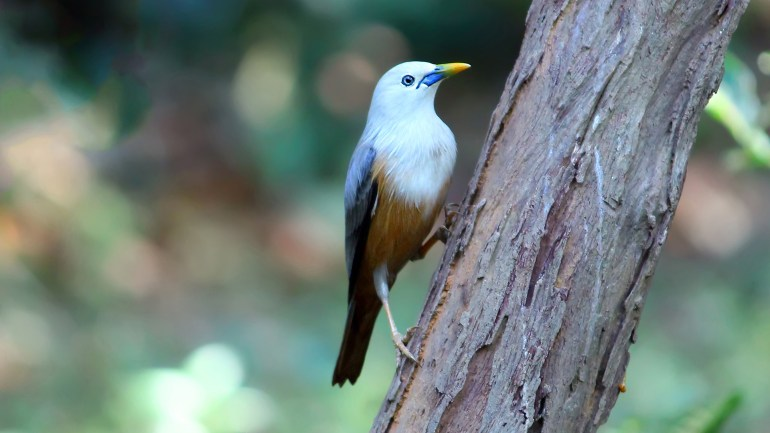 Malabar White Headed Starling, Thattekkad Birds, Birds of South India, Birds of Kerala, Kerala Birds, Birds of Thattekkad, South India Birding, Thattekkadu, Thattekkad Bird Sanctury