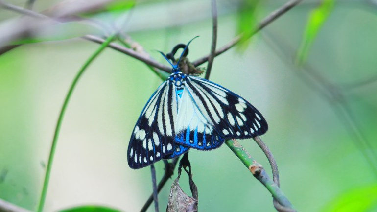 Marble White Moth, Nyctemera Coleta, Butterflies of Kerala, Butterfly Photos, Butterfly HD Photos