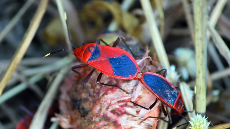 Milkweed Tiki Bug, Milkweed Red Bug, Insects of Kerala, Kerala Insects, Insect Photos
