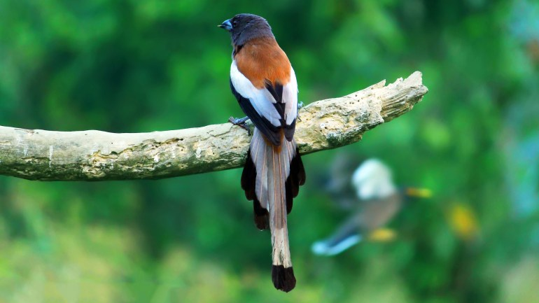 Rufous Treepie, Thattekkad Birds, Birds of South India, Birds of Kerala, Kerala Birds, Birds of Thattekkad, South India Birding, Thattekkadu, Thattekkad Bird Sanctury