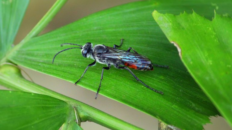 Spider Wasp, Pompilidae, Insects of India, Indian Insects, Insects of Kerala, Kerala Insects
