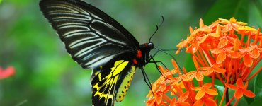 Southern Birdwing, Sahyadri Birdwing, Troides Minos, Butterfly Photos, Butterfly HD Photos, Kerala Butterflies Photos, Butterfly Malayalam Name, Kerala Butterfly Name, Garuda Salabham