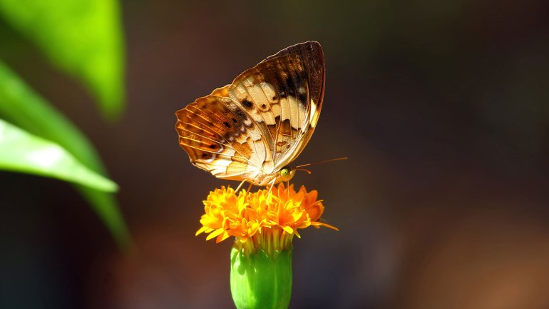 Rustic Butterfly, Photos of Butterflies of Kerala. Cupha Erymanthis, Vayankathan Salabham, Butterfly Photos, Butterfly Kerala. List of Butterflies Kerala