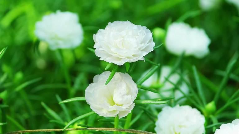 Table Rose, പത്തുമണി പൂവ്, Table rose White