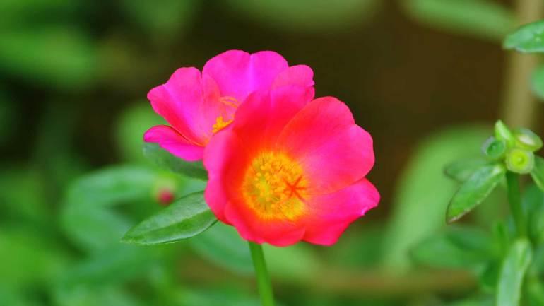 Table Rose, പത്തുമണി പൂവ്