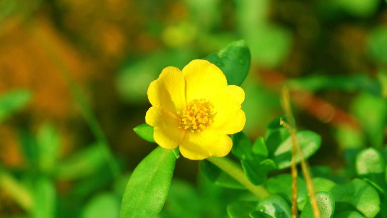 Table Rose, പത്തുമണി പൂവ്, yellow table rose, Garden Flowers Kerala, Flowers Kerala