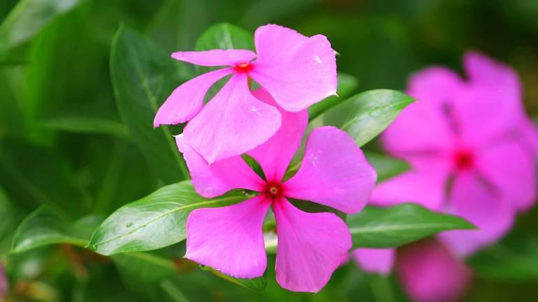 nithya kalyani, usha malari, Periwinkle Flower, White Periwinkle Flower, നിത്യകല്യാണി പൂവ്