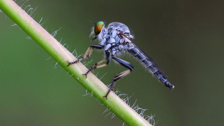 Robber Fly, Assassin Fly, Asilidae, insects of kerala, insects kerala, kerala insects