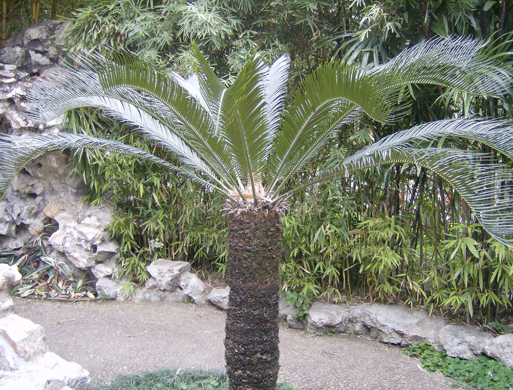Taman Rumah Minimalis Cycad