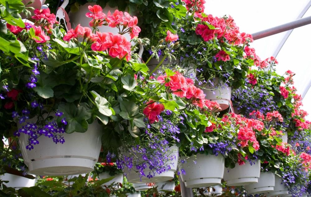 10 Tanaman Gantung Tercantik Bikin Rumahmu Dilirik Banyak Orang