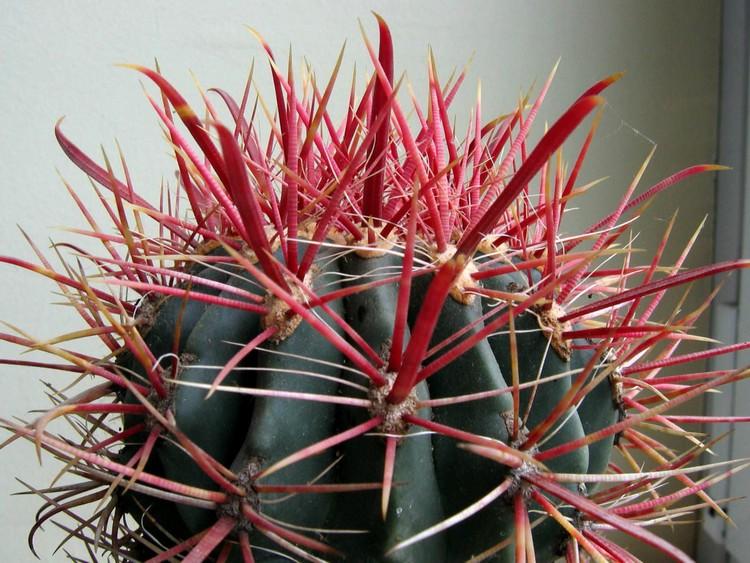 Hasil gambar untuk Kaktus Hias Ferocactus