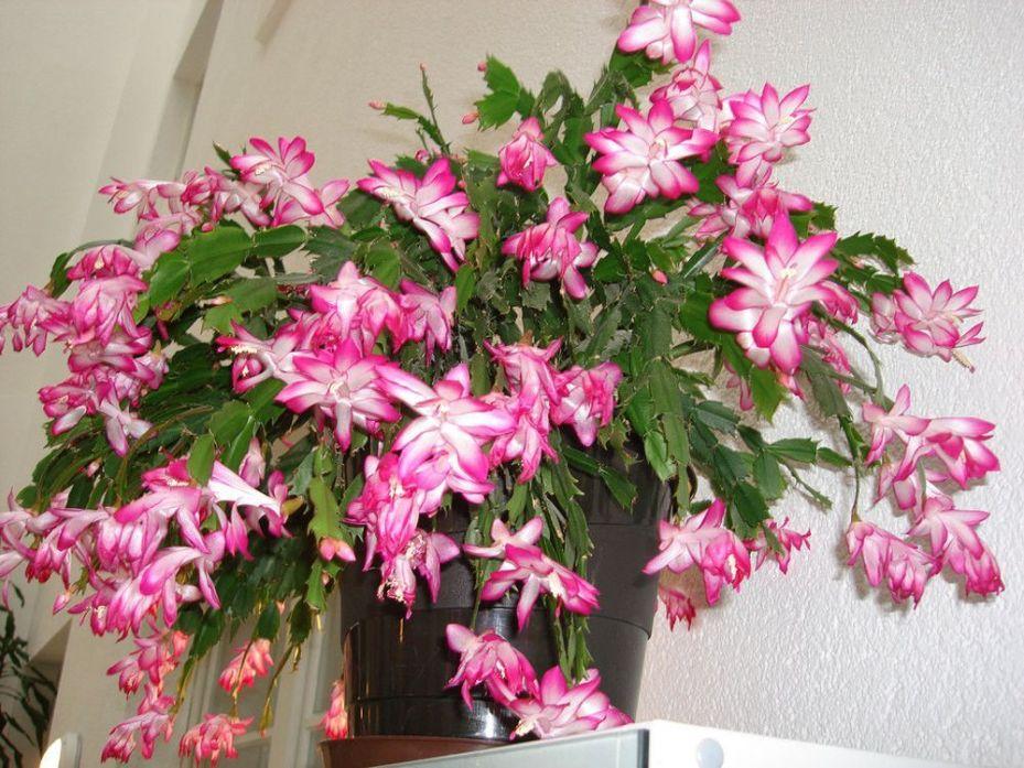 Jenis Tanaman Hias Gantung Bunga Zygocactus