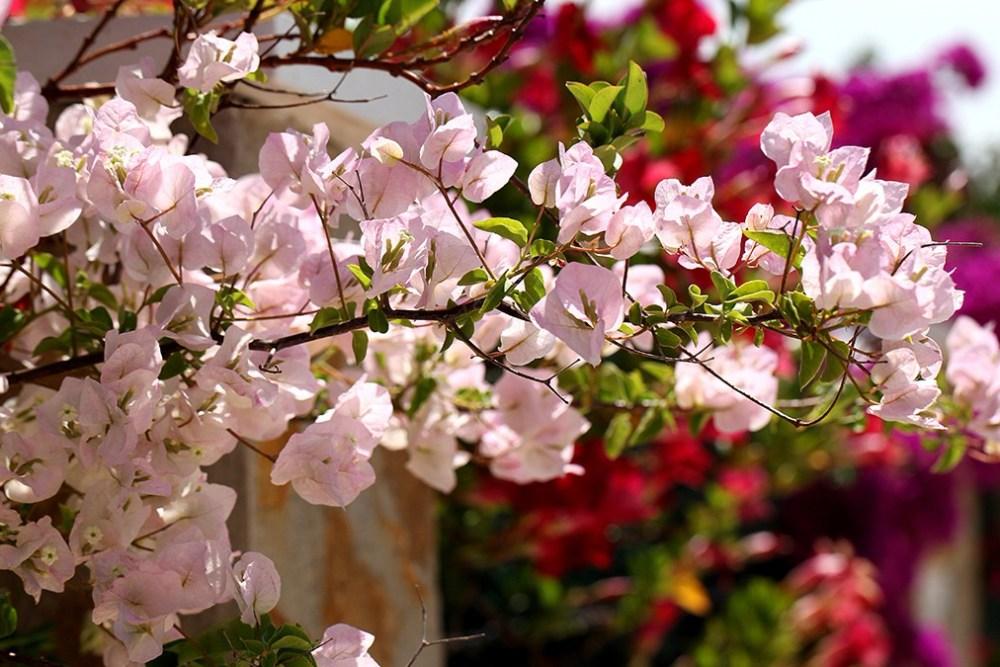 6 Cara Mudah Menanam Bunga Kertas Di Rumah