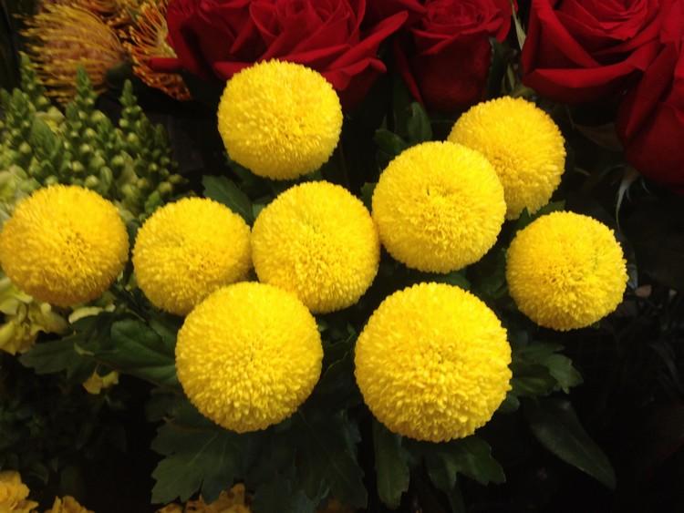 Bunga Krisan Pompom (Chrysanthemum Pompoms)