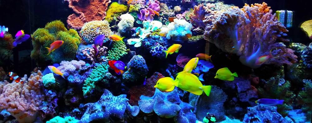 Akuarium Air Laut Koral
