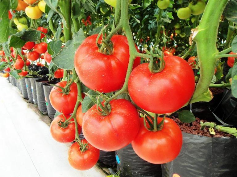 Tanaman Holtikultura Tomat