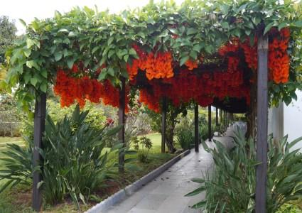 tanaman merambat, solusi praktis rumah cantik sepanjang tahun
