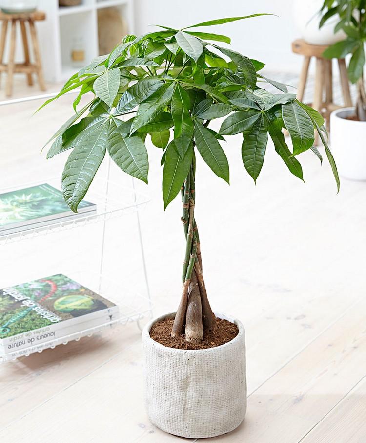 Pohon uang atau pachira sebagai tanaman depan rumah menurut feng shui
