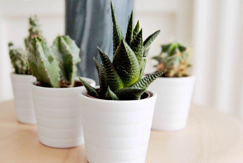 Kaktus dalam pot untuk kamar tumblr