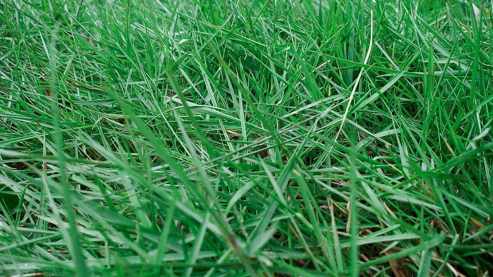 Jenis Rumput Peking