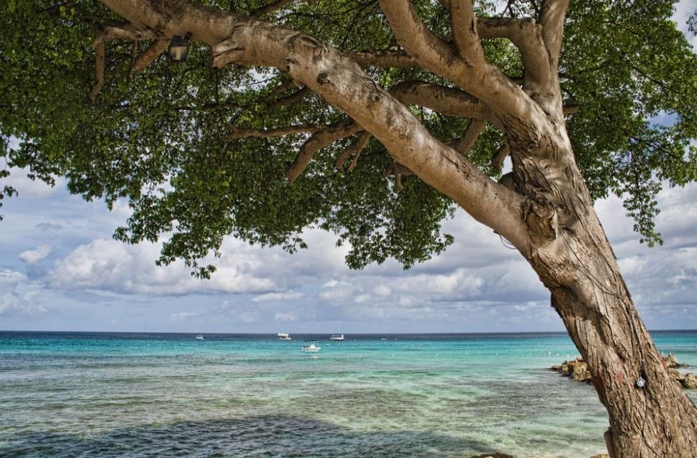 Pohon Machineel di pinggir pantai Karibia